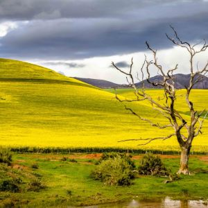 Dead tree near canola fields, Overberg, South Africa
